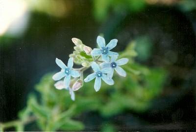 tweedia caerulea blue milkweed a very pretty plant worth bringing in to winter over - Pretty Plants